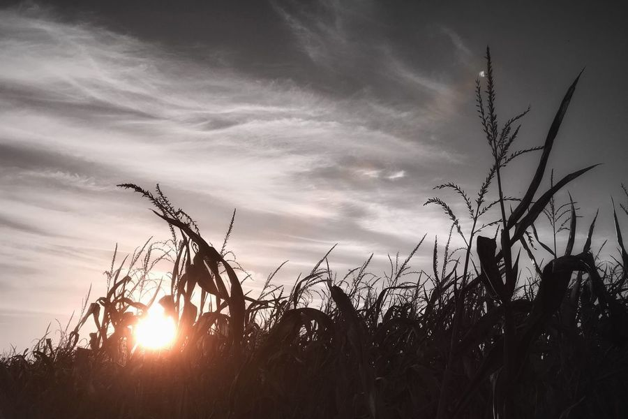 🎃 Bye summer, it's been nice. Looking forward to Halloween 👻 Harvest Flare Sunlight Monochrome Almost Black&white Halloween Corn Dark Tadaa Tadaa Community Sky Plant Growth Sunset Cloud - Sky Beauty In Nature Silhouette Nature Tranquility Sunlight Field Sun Outdoors Low Angle View Agriculture No People