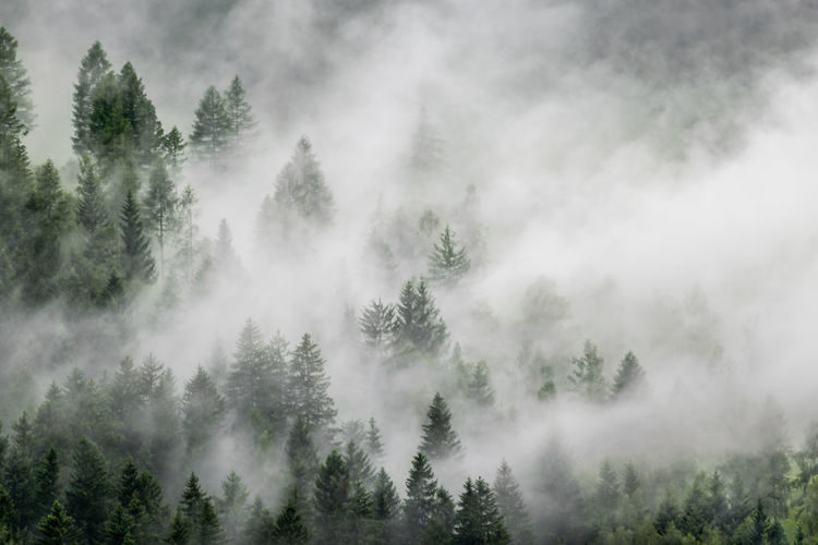 pine forest on a foggy mountain 9 Day Tree Beauty In Nature Nature Nature_collection Nature Photography Tranquility Tranquil Scene Fog Foggy Foggy Morning Green Evergreen Tree Forest Photography Outdoors Weather Mountain View Mountain Photo Series Scenics - Nature Environment WoodLand Pine Tree Coniferous Tree