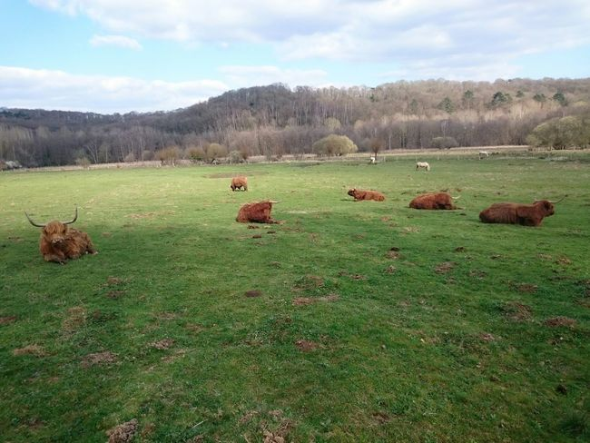 Relaxing Taking Photos Plaine Chevreuse Cow Vaches Aurochs Landscape Field Countryside