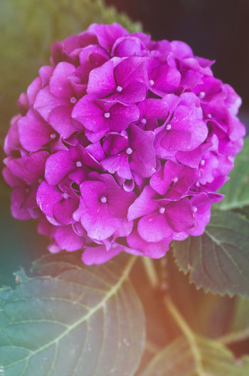 purple hydrangea Beauty In Nature Close-up Day Flower Flower Head Flowering Plant Focus On Foreground Fragility Freshness Growth Hydrangea Inflorescence Nature No People Outdoors Petal Pink Color Plant Purple Springtime Vulnerability