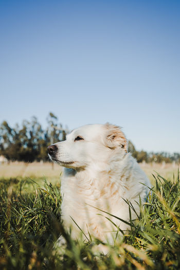 White dog laying on the grass. pet concept. wildlife