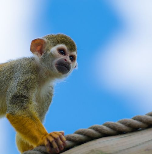 Low Angle View Of Spider Monkey Against Blue Sky At Yorkshire Wildlife Park