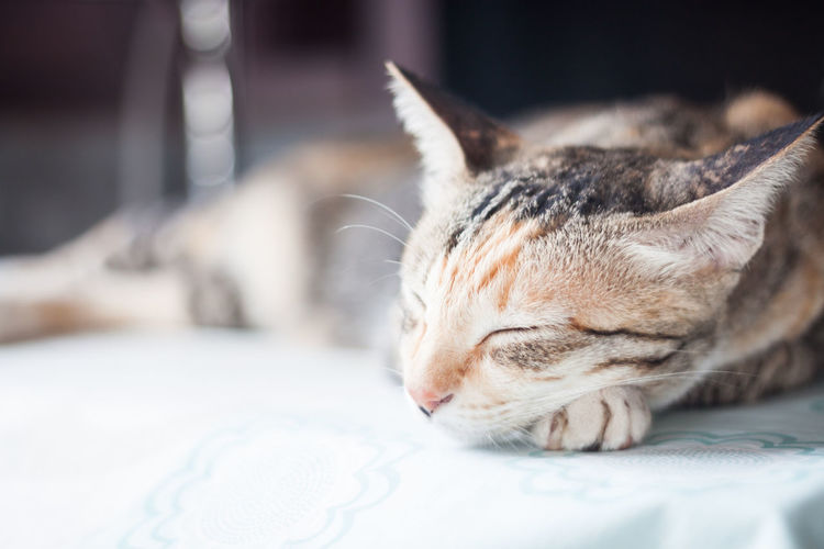 Close-Up Of Cat Sleeping On Table At Home