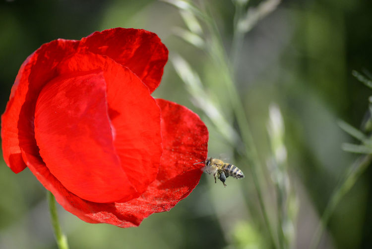 bee on a poppy flower Apicultura Bee Flowering Plant Plant Flower Close-up Beauty In Nature Fragility Vulnerability  Petal Freshness Flower Head No People Poppy Poppy Flowers Pollen Pollen On Flowers Honey Bee APIculture Agriculture Honey Bees And Flowers Flying Pistil Stamen