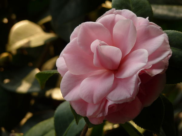 Camellia Camellia Aleq Beauty In Nature Camellia Flower Camellia Flowers Close-up Day Flower Flower Head Flowering Plant Focus On Foreground Fragility Freshness Growth Inflorescence Nature No People Petal Pink Color Plant Plant Part Rosé Rose - Flower Vulnerability