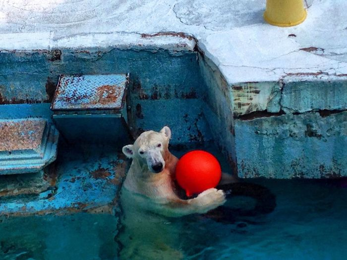 Zoo シロクマ White Bear Arctic ひとり遊び It was healed by animal なんちゃってfeel-good …癒されました❤︎