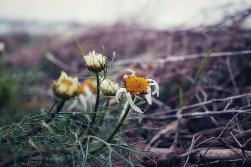 flowers EyeEm EyeEm Best Shots Nature_collection Naturelovers Nature Photography Nature_perfection Cold Temperature Winter Flower Nature Uncultivated Plant Fragility Flower Head Beauty In Nature Outdoors Landscape Living Organism No People Day Growth Plant Part Freshness