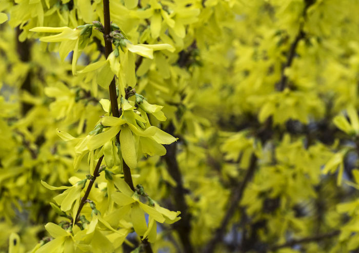 Flowering cornelian full frame background Background Beauty In Nature Blossom Branch Close-up Cornelian Day Flower Flower Head Flowering Fragility Freshness Full Frame Green Color Growth Nature No People Outdoors Tree Yellow