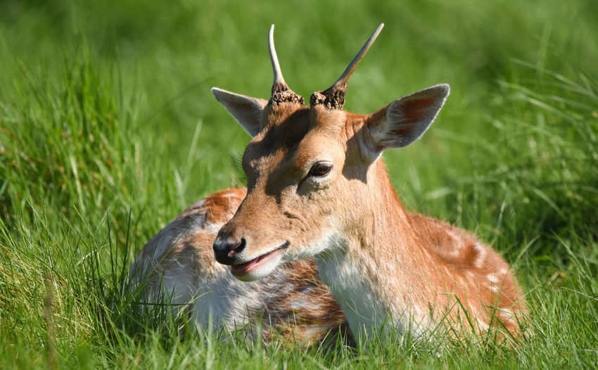 EyeEm Nature Lover Animal Animal Family Animal Head  Animal Themes Animal Wildlife Animals In The Wild Brown Day Deer Domestic Animals Fawn Field Grass Green Color Herbivorous Land Mammal Nature No People One Animal Outdoors Plant Vertebrate Young Animal
