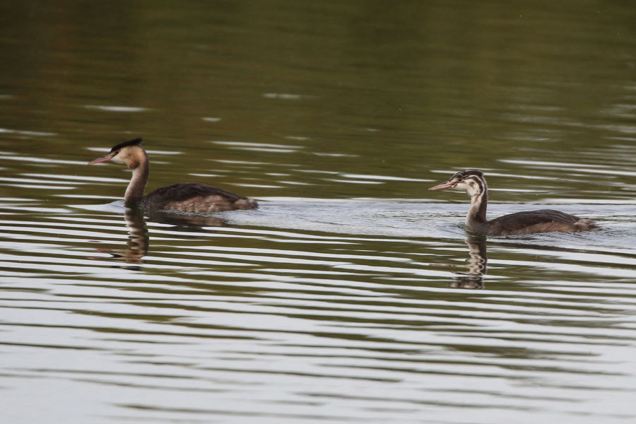 Grest Crested Grebe, young and old Animal Animal Family Animal Themes Animal Wildlife Animals In The Wild Bird Day Duck Floating On Water Gosling Group Of Animals Lake Nature No People Outdoors Poultry Swimming Vertebrate Water Water Bird Waterfront Young Animal Young Bird