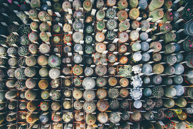 Full frame shot of various potted cactuses arranged in greenhouse