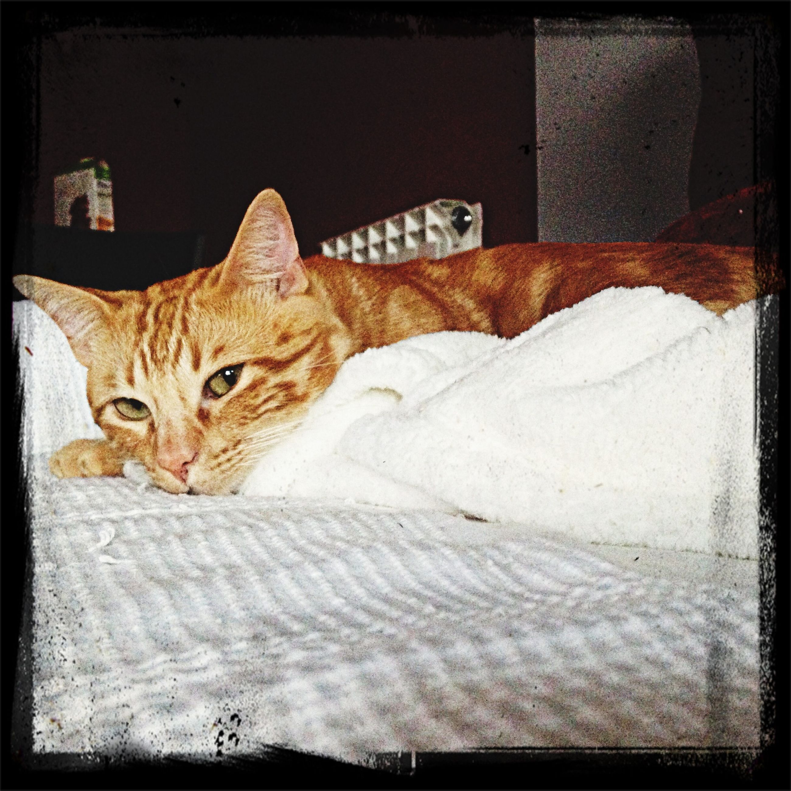 domestic cat, cat, domestic animals, pets, animal themes, one animal, feline, mammal, relaxation, whisker, portrait, looking at camera, transfer print, resting, lying down, indoors, auto post production filter, alertness, sitting, staring