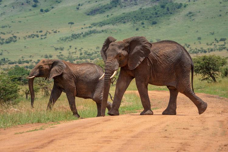 Two african elephants cross track in sun