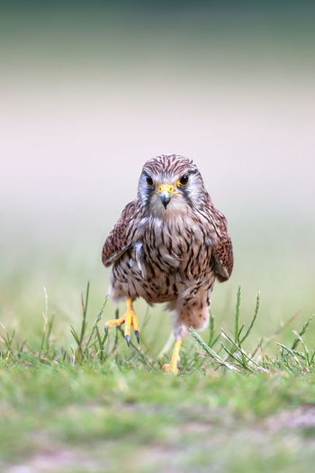 A common kestrel on the ground