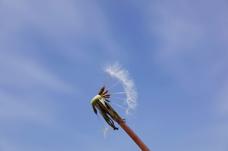 Low Angle View Of Dandelion Flower Against Sky
