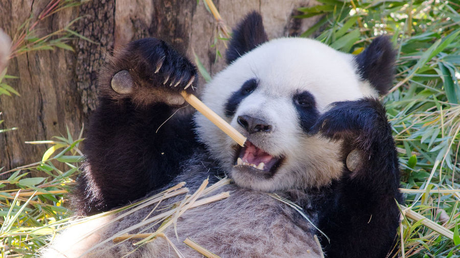 Panda eating bamboo shoot in madrid zoo