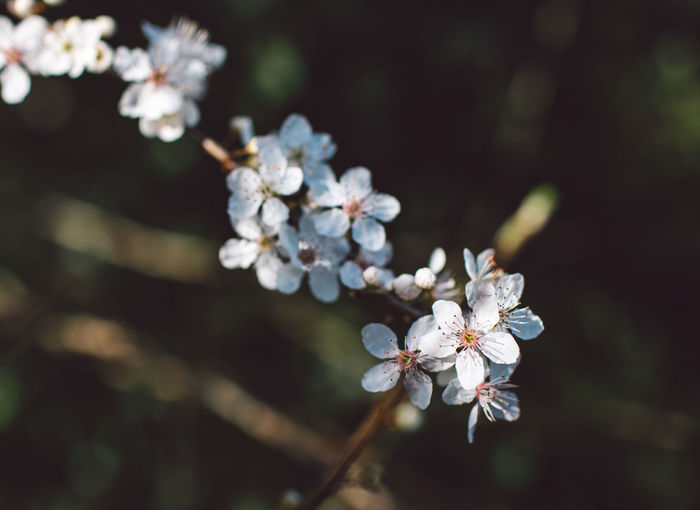 Flower Flowering Plant Fragility Plant Vulnerability  Beauty In Nature Growth Freshness Close-up Nature Petal Inflorescence Blossom Flower Head Focus On Foreground No People White Color Springtime Day Selective Focus Outdoors Pollen Cherry Blossom Cherry Tree Spring Springtime Decadence