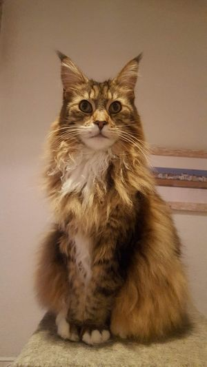 Maine coon cat Pets Portrait Sitting Domestic Cat Feline Looking At Camera Cute Animal Hair Maine Coon Cat Kitten Animal Eye Cat Fluffy Yellow Eyes Eye Paw