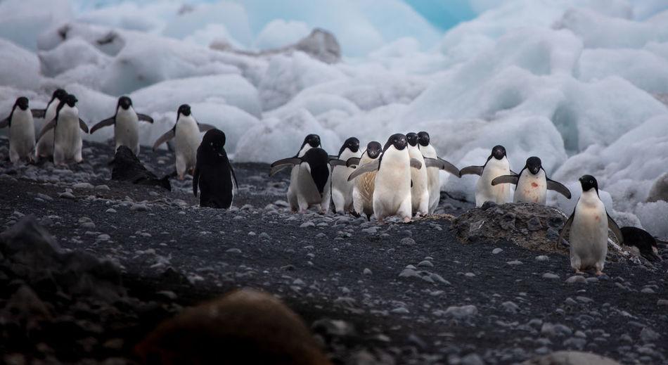 Penguins on land during winter