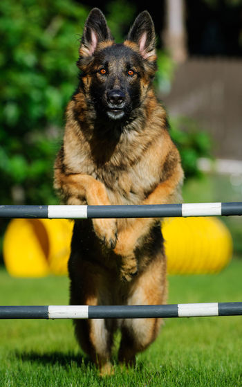German Shepherd jumping agility jump Pets Dog Domestic Animals Day No People Front View Outdoors Portrait German Shepherd Canine One Animal German Shepherd Dog  Shepherd Agility Jumping Sport Poles Focus Exercise Dog Sport Training Activity Action