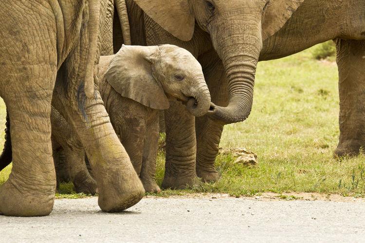 Close-up of baby elephant