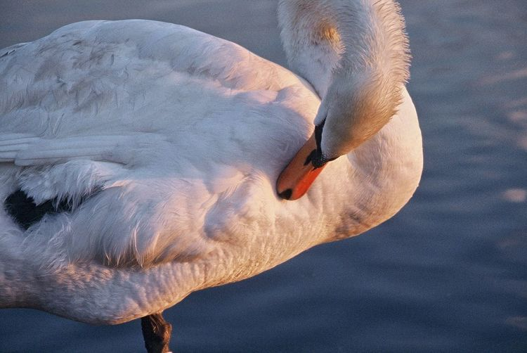 EyeEmNewHere Sunset Swan Preening Swan Close-up
