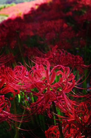 Red Plant Flower Beauty In Nature Flower Head Spiderlily 徳島県 Japan