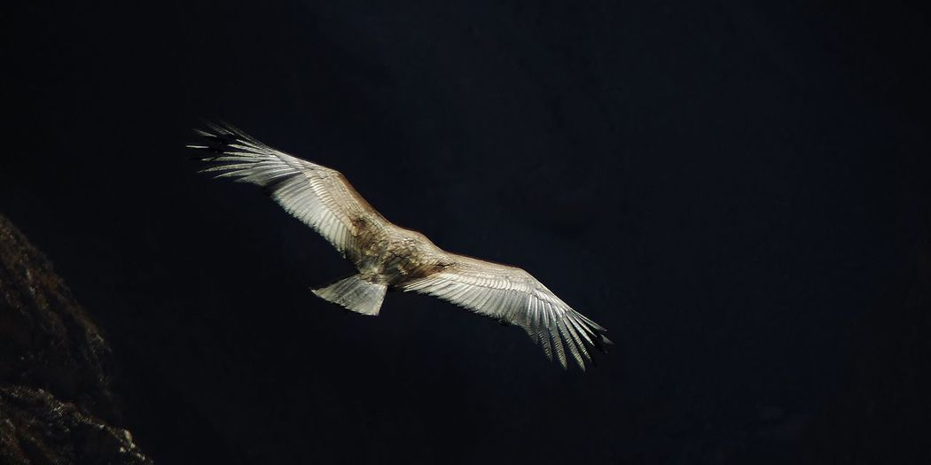 The Andean Condor Hunting Wingspan Wings Flight Nature Nature In Motion Motion Andean Condor Bird Of Prey Bird One Animal Animals In The Wild Animal Wildlife Animal Themes Reptile No People Night