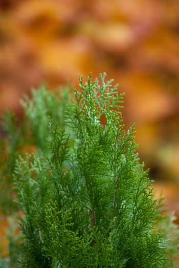 cypress tree foliage Green Color Plant Growth Close-up Nature No People Leaf Plant Part Beauty In Nature Coniferous Tree Pine Tree Focus On Foreground Selective Focus Tree Day Freshness Outdoors Branch Food Food And Drink Needle - Plant Part Herb Fir Tree Cypress Trees