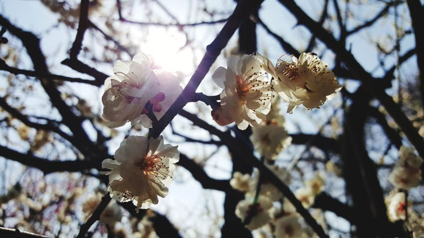 Plum Blossom Flower Growth Flowernature Flower Head Nature