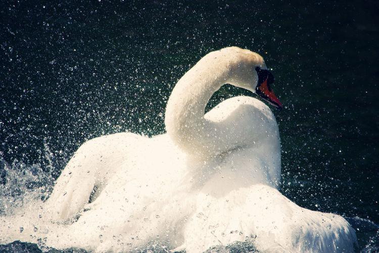 Swan Swan Animal Themes Water Nature White Color Beak Swimming One Animal