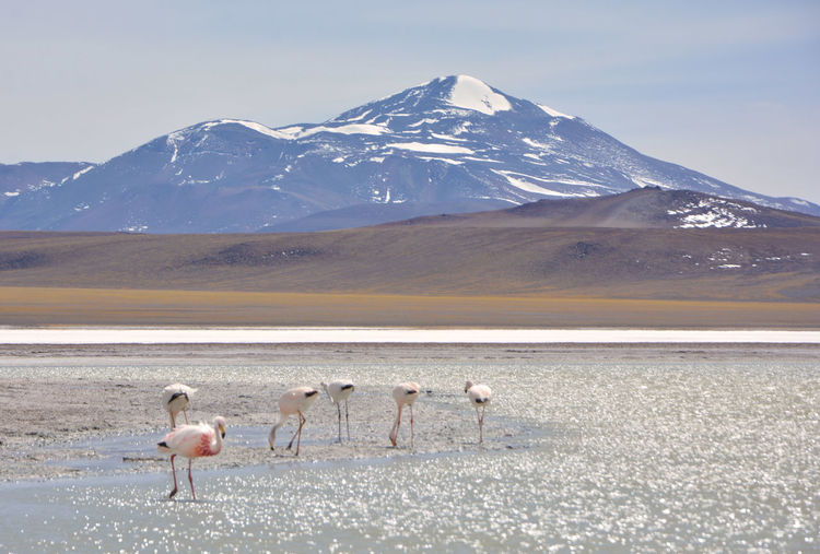 View of flamingos on snowcapped mountain against sky