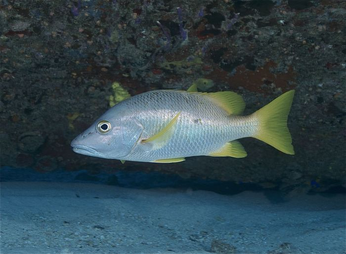 Bahamas Lutjanus Apodus Nassau Animal Animal Wildlife Animals In The Wild Close-up Fish Marine Marine Life Nature One Animal Profile View Reef Fish Schoolmaster Snapper Sea Sea Life Snapper Swimming UnderSea Underwater Vertebrate Water