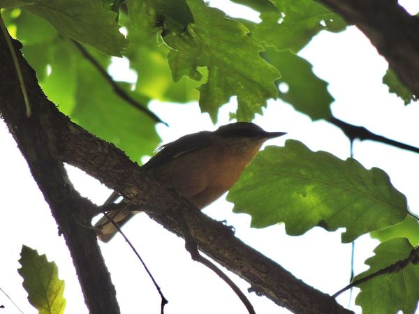 Animal Themes Animal Wildlife Animals In The Wild Beauty In Nature Bird Branch Close-up Day Green Color Growth Leaf Low Angle View Nature No People One Animal Outdoors Perching Sky Tree Sitta Europaea Wildlife Nuthatch Plant Mammal