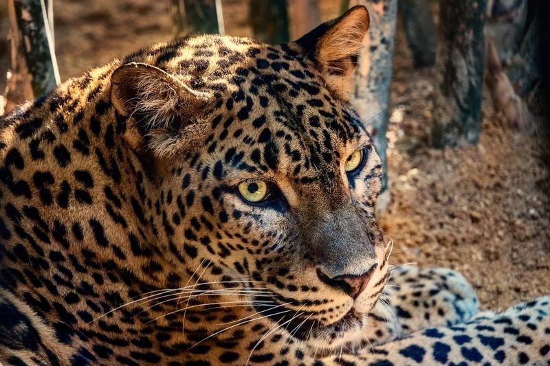 Leopard Zoo Animals  Zoo Leopard Animal Themes Animal One Animal Animal Markings Big Cat Animals In The Wild Animal Wildlife Feline