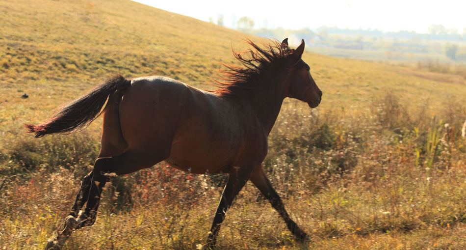 Wild horse running in a field in the evening Animal Mammal Animal Themes Horse Domestic Animals Domestic One Animal Animal Wildlife Land Livestock Field Vertebrate Environment Nature Landscape Herbivorous Outdoors Full Length Countre-jour Free Freedom Wildlife
