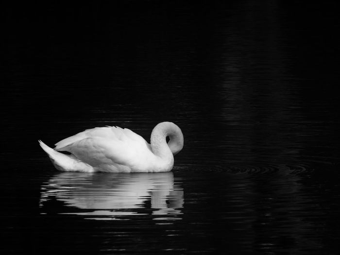 Young mute swan, cygnus olor, swimming in a lake