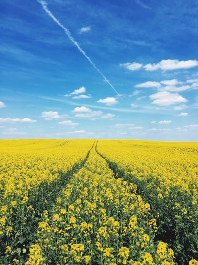 Oilseed rape crop in field