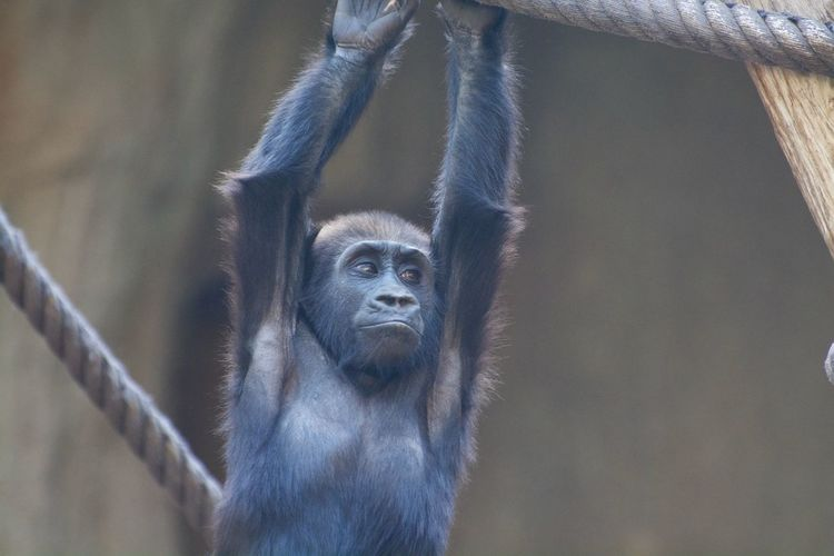 Monkey hanging on clothesline at zoo