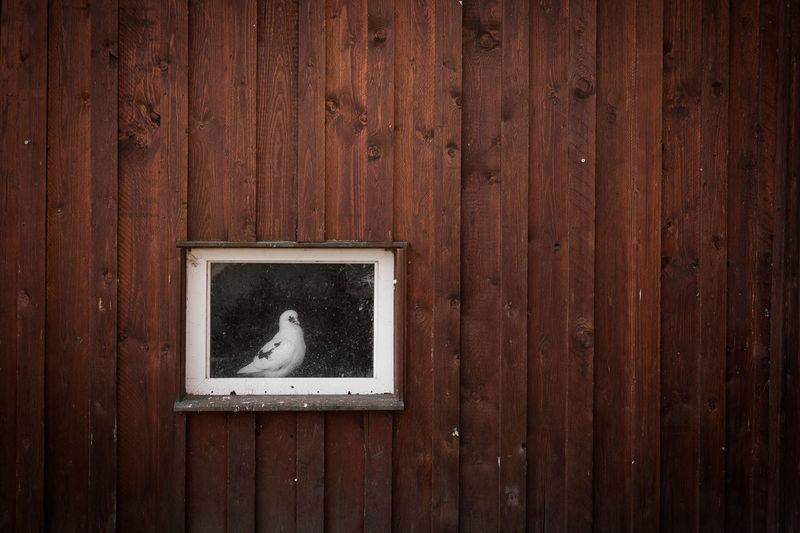 This lonely dove was captured @ Groß Neuendorf, 2018-01-01 EyeEm Best Shots EyeEmNewHere Still Life Caught In The Moment Caught Jail Lonely Animal Themes Bird Captured Depression - Sadness Dove Dovecote Lonliest Place Lonliness No People One Animal Outdoors Prison White Dove Wood - Material Shades Of Winter EyeEmNewHere