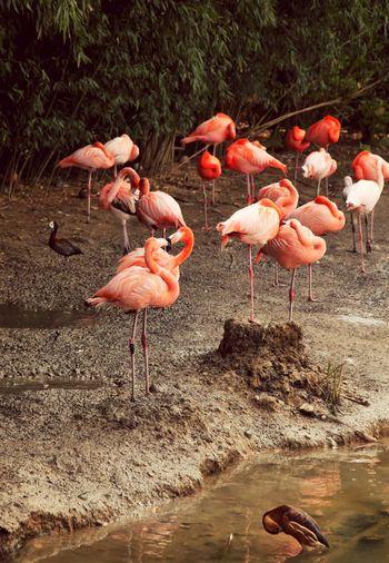 Orange Flamingos At Lakeshore