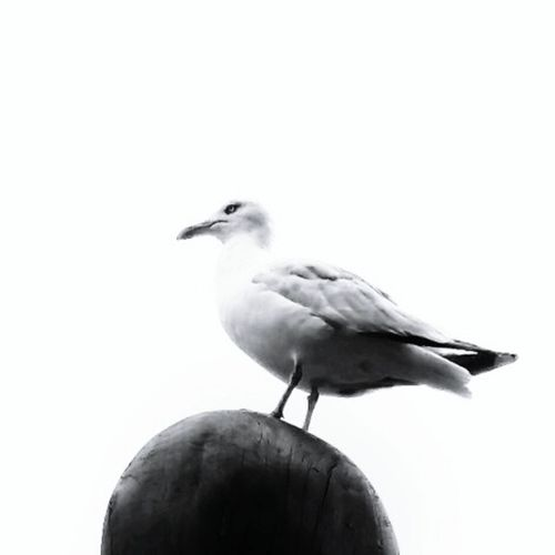 Seagull Bird Photography Bird