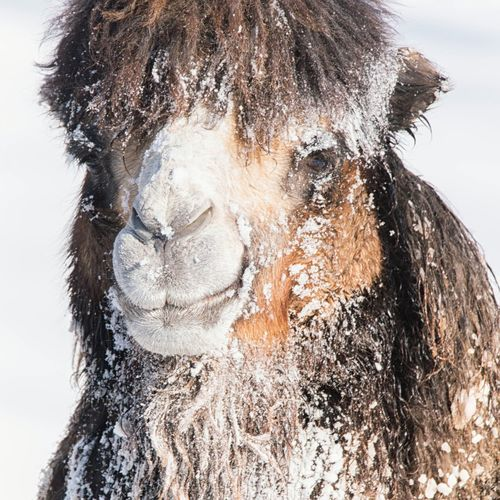 Bactrian Camel Camel Cold Temperature Outdoors Minnesota Close-up Snow Ice Winter Animal Cute Adorable Shades Of Winter