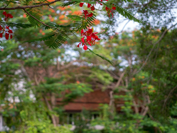 Peacock flower Plant Tree Growth Beauty In Nature Focus On Foreground Nature Day No People Green Color Outdoors Branch Red Leaf Plant Part Tranquility Selective Focus Low Angle View Freshness Close-up Land