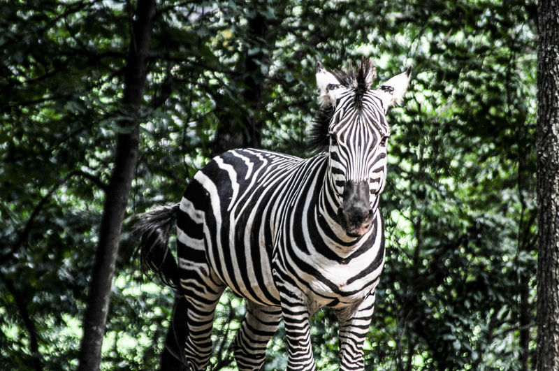 Zebra standing against trees in forest
