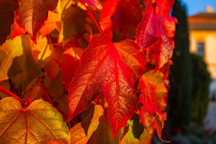 Autumn Autumn colors Autumn Leaves Parthenocissus Parthenocissus Tricuspidata Autumn Autumn Collection Beauty In Nature Boston Ivy Change Clinging Clinging Vine Close-up Day Fall Focus On Foreground Leaf Leaves Natural Condition Nature No People Outdoors Plant Plant Part Red