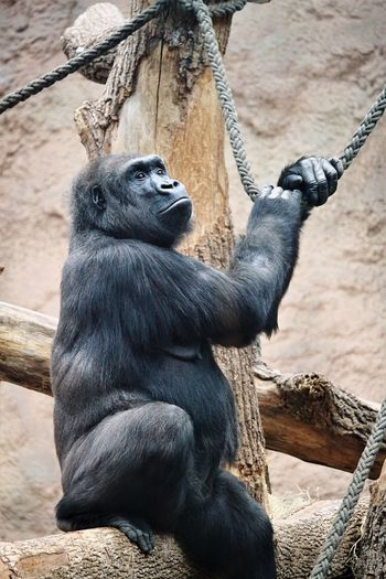 Low angle view of gorilla sitting on wood at zoo