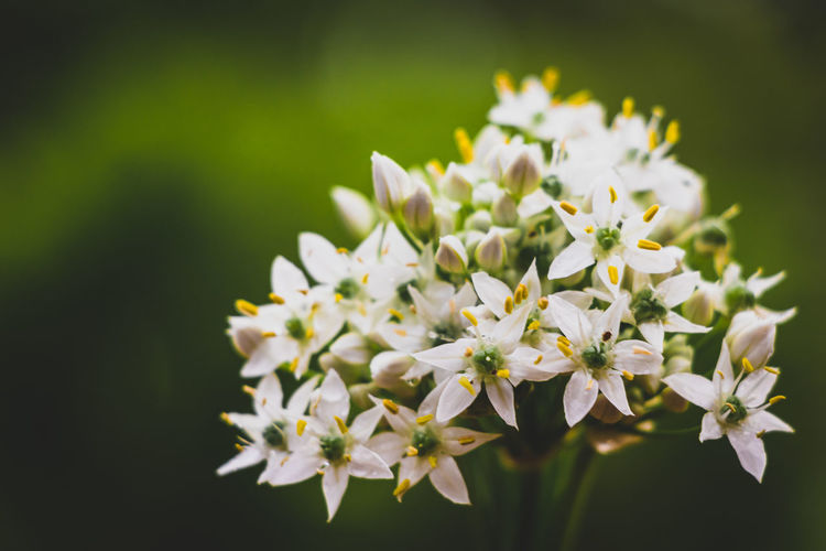 Close-up of white flowers blooming in garden