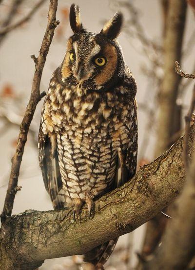 Longeared Owl Olympus OM-D EM-1 Animal