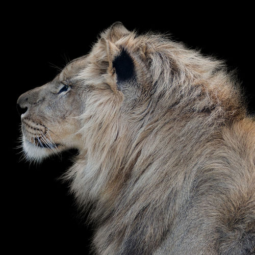lion king profile portrait Fauve Lion Paris Profile Wildlife & Nature Wildlife Photography Animal Themes Animals In The Wild Art Black Background Close-up Day Fauna Fur Lion - Feline Lion King  Male Mammal No People One Animal Outdoors Side View Studio Shot Wildlife Young Adult